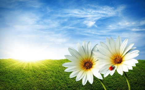 flowers-two-daisy-backgrounds-wallpapers